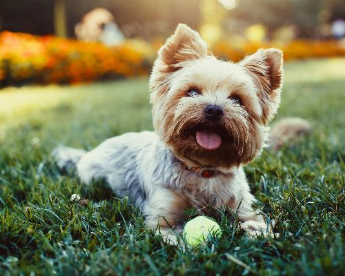 thumbnail of Yorkshire Terriers