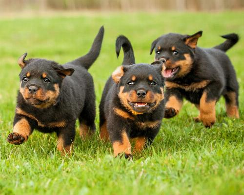 thumbnail of Rottweilers