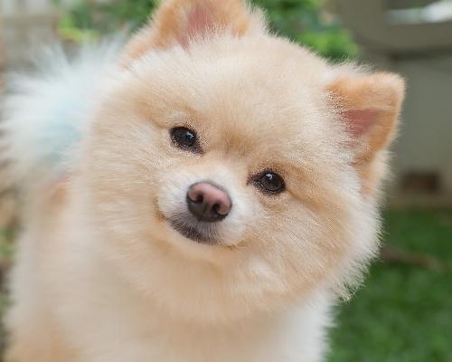 thumbnail of Pomeranian