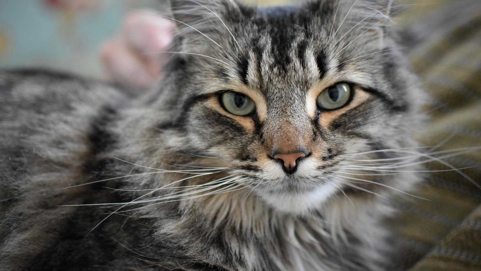 banner of Maine Coon
