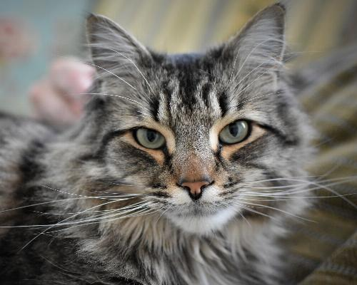 thumbnail of Maine Coon
