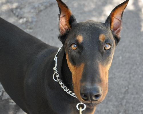thumbnail of Doberman