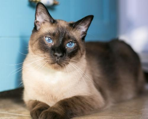 thumbnail of Siamese Cats