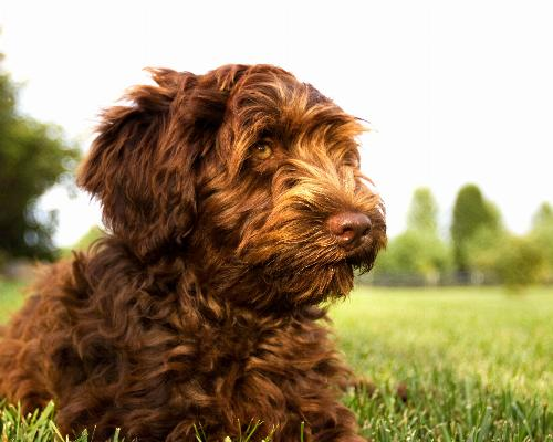 thumbnail of Labradoodle
