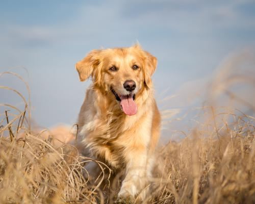 thumbnail of The Golden Retriever Is an Incredible Family Dog