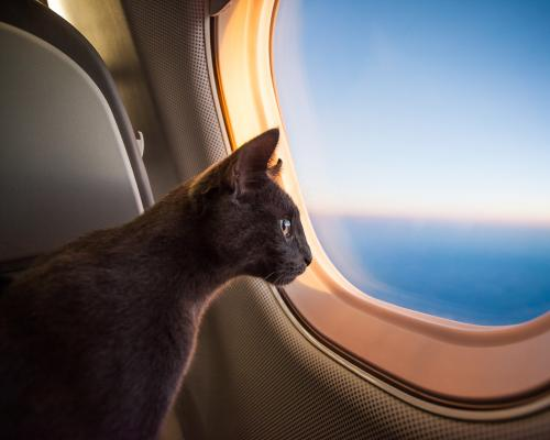 thumbnail of Flying With A Pet is More Common Than You May Realize