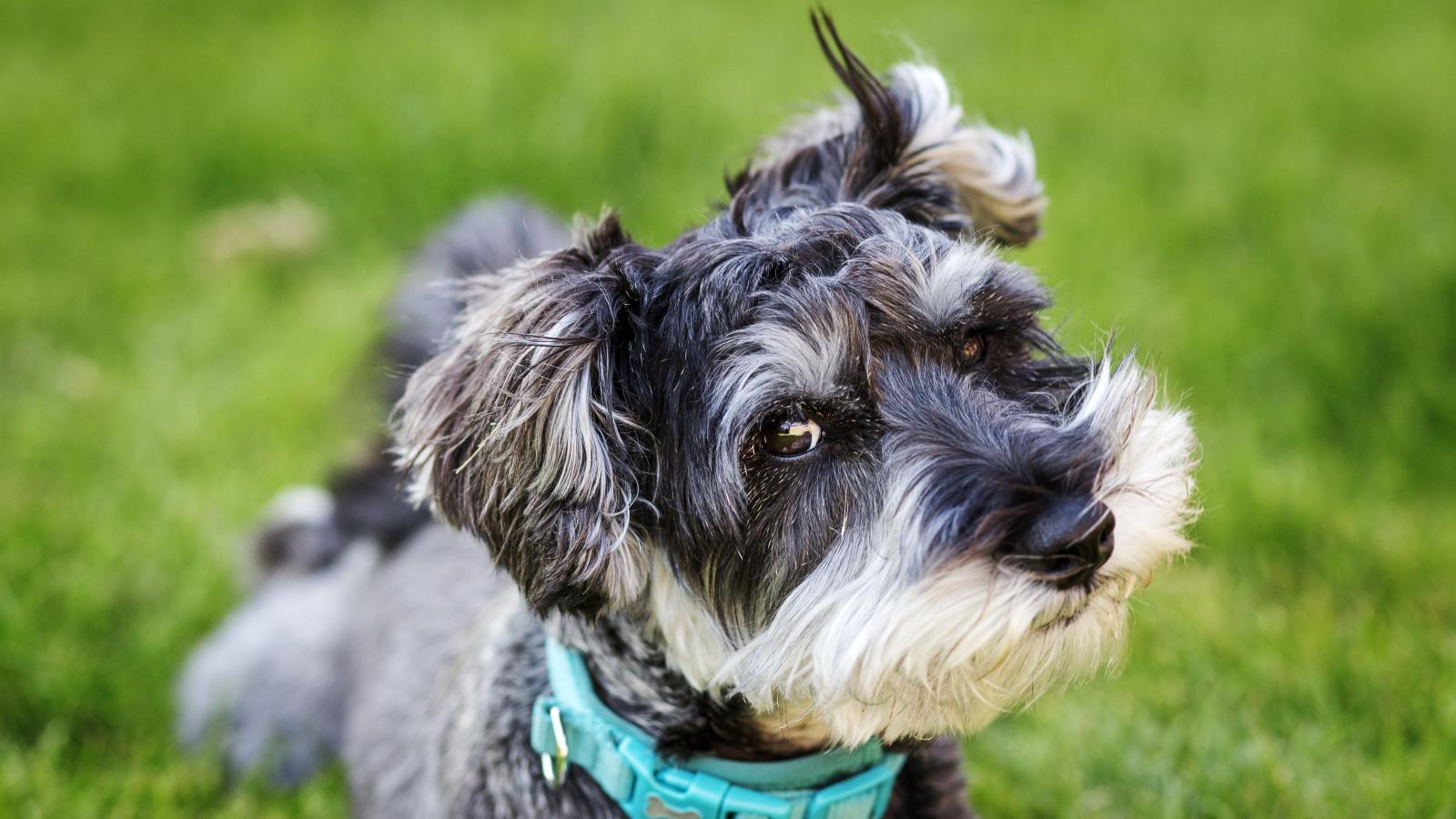 banner of he Schnauzer is a Fun and Loyal Friend