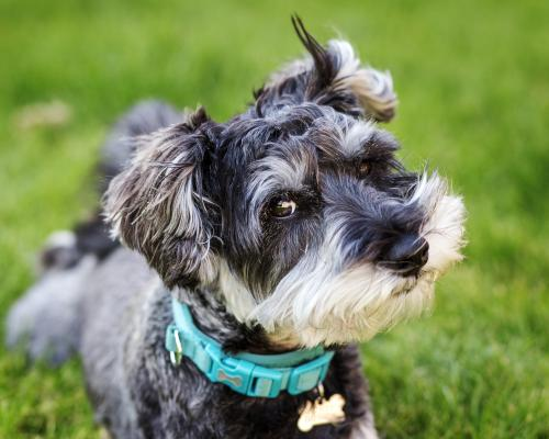 thumbnail of he Schnauzer is a Fun and Loyal Friend