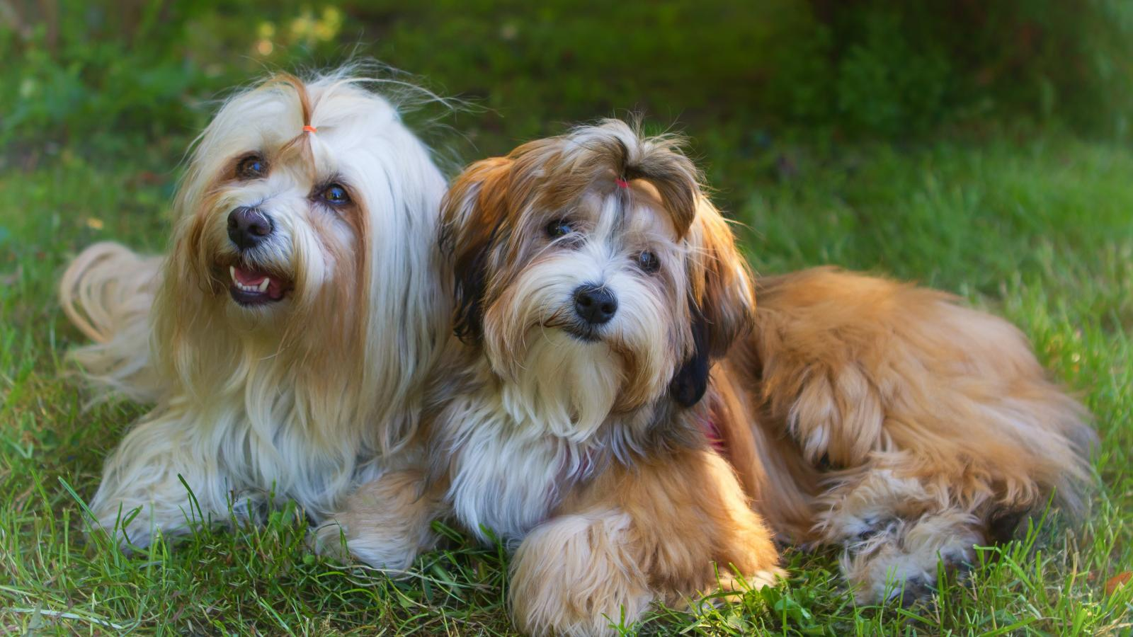 banner of he History, Characteristics, And Needs Of Havanese Dogs