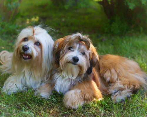 thumbnail of he History, Characteristics, And Needs Of Havanese Dogs