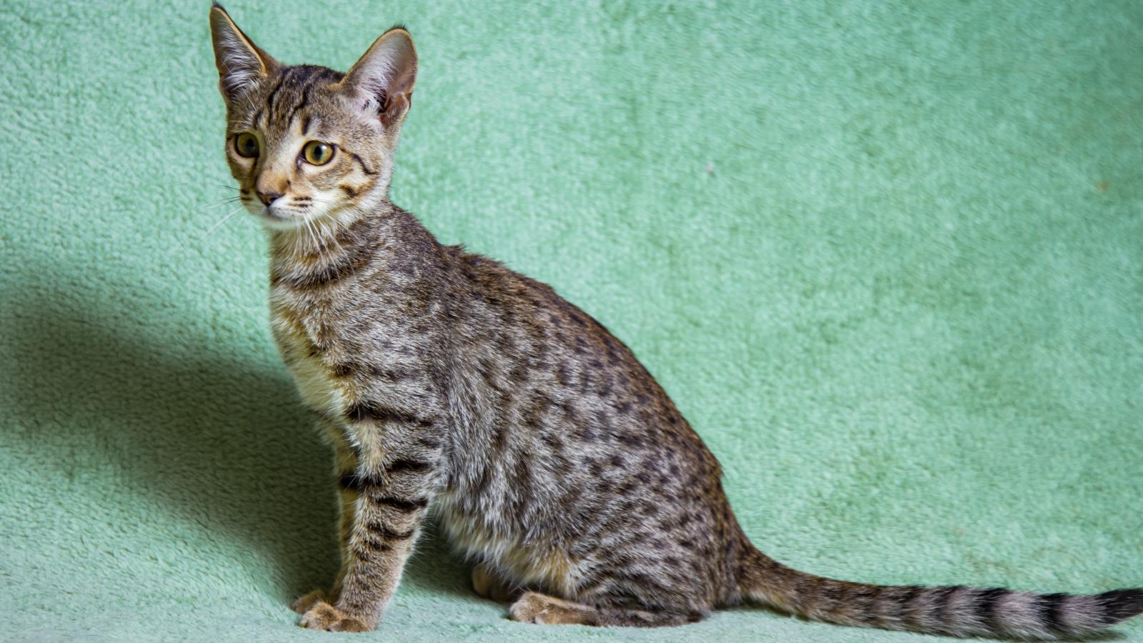 banner of The Savannah Cat Is a Huge and Exotic Cat Breed