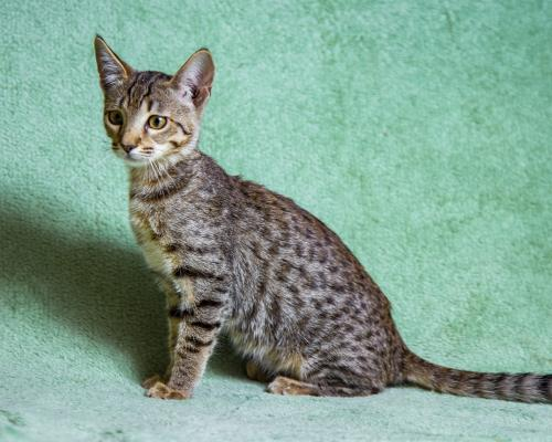 thumbnail of The Savannah Cat Is a Huge and Exotic Cat Breed
